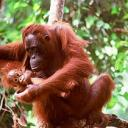 orangutan-mother-and-baby.jpg